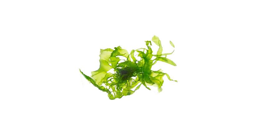 alge eco
